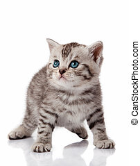 Cute little kitten. kitten with blue eyes. Kitten on a white background