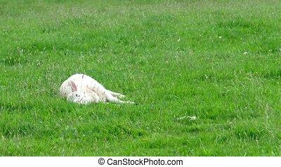 Cute little lamb falling asleep on the green meadow