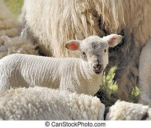 cute little lamb in livestock