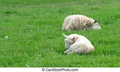 Cute little lamb in the front while other sheep is sleeping...