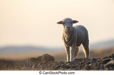 cute little lamb on fresh spring green meadow during sunrise