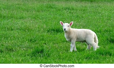 Cute little lamb peeing on the green meadow