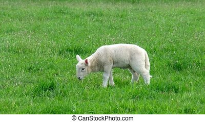 Cute little lamb peeing on the green meadow