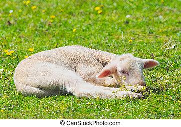 Cute little lamb resting in a meadow