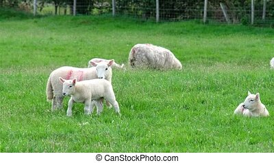 Cute little lamb waking up and walking on the green meadow