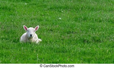 Cute little lamb waking up and yawning on the green meadow