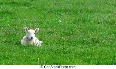 Cute little lamb waking up on the green meadow