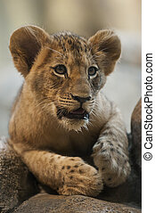 Cute Little Lion Cub laying on the rocks looking towards the camera