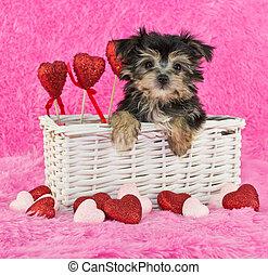 Cute little Morkie Puppy - A little Morkie puppy in a basket...