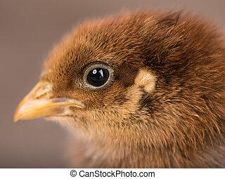 Cute little newborn chicken