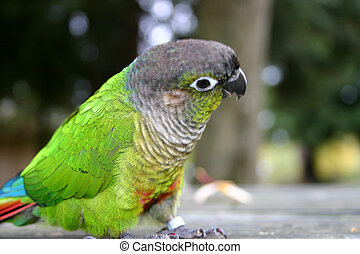 Cute Little Parrot - Green cheeked conure named Mango looks...