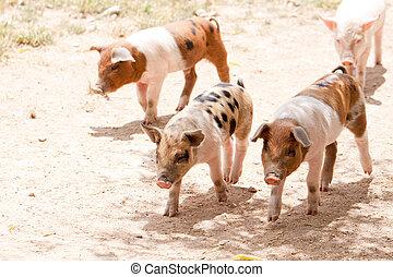cute little pig piglet outdoor in s