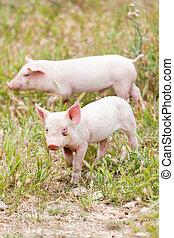 cute little pig piglet outdoor in summer
