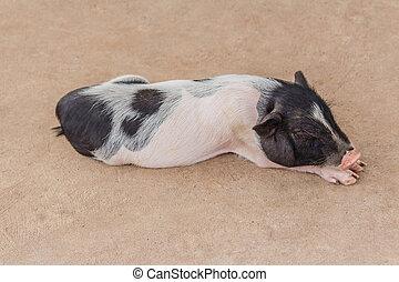 cute little pig sleeping