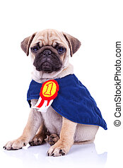 cute little pug puppy dog champion sitting on white ...