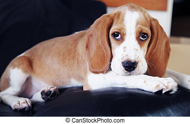 Cute little puppy beagle