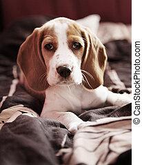 Cute little puppy beagle