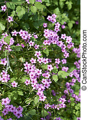 oxalis corymbosa - Cute little purple flower oxalis ...