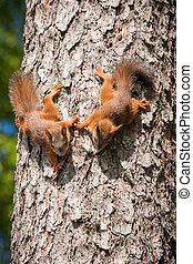 Cute little red squirrel - Cute little eurasian red squirrel