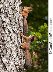 Cute little red squirrels on tree