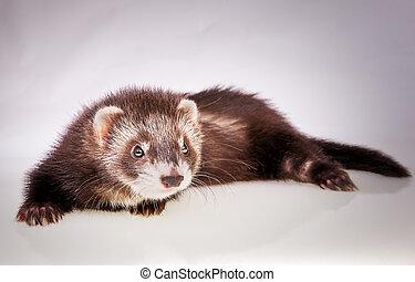 cute little sable ferret