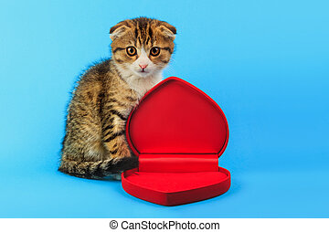 cute little Scottish fold kitten with a box in the shape of a heart on blue background