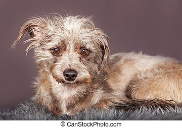 Cute Little Scruffy Terrier Dog Grey Background