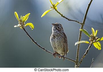 Cute little song sparrow.