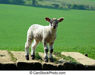 Cute little spring lamb in field