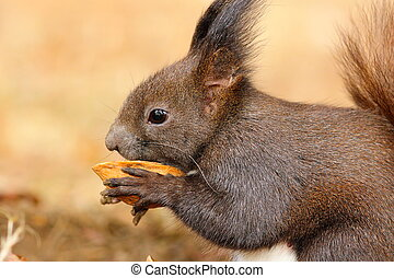 cute little squirrel eating nut