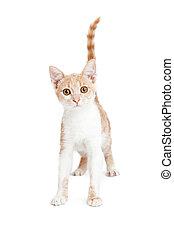 Cute Little Tabby Kitten Standing