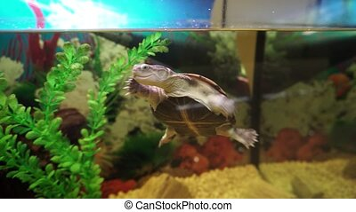 Cute little turtle swims in aquarium. Close up shot in 4k.