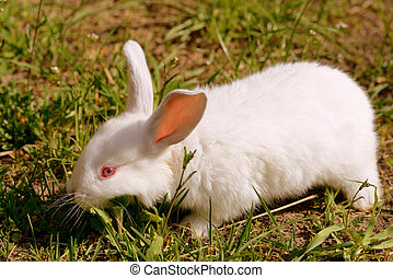 Cute little white baby rabbit on green grass in the farm yard. Retro style toned