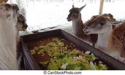 cute llama eating close up - cute llama eating vegetables...
