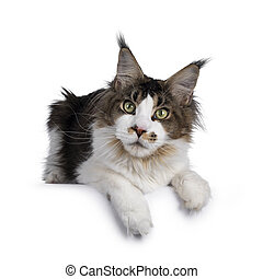 Cute Maine Coon cat on white background