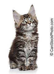 Cute Maine Coon kitten on a white background