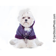 Cute Maltese - Cute and fluffy young Maltese puppy, wearing...