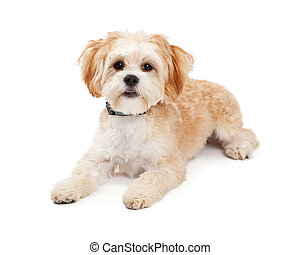 Cute Maltese Mix Breed Dog Laying - Cute Maltese Mix Breed...