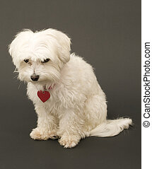 Cute Maltese Sitting