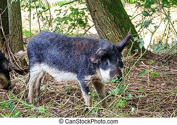 Cute Mangalica pig