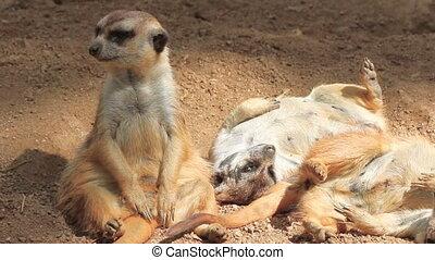 Meerkat family - Cute Meerkat family group at play while...