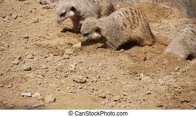 Cute meerkats digging holes together in sandy soil of a zoo...