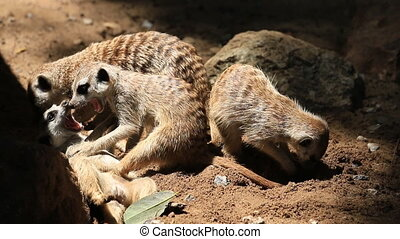 Cute meerkats family, HD Clip