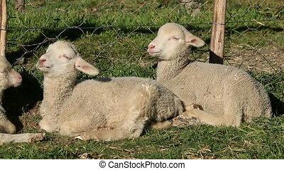 Cute merino sheep lambs
