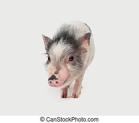 Cute mini pig on white background, portrait