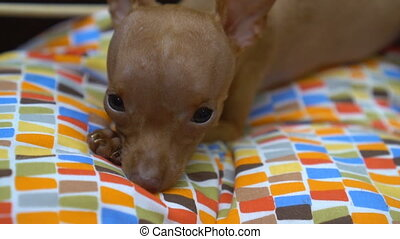 Cute miniature pinscher puppy looking playing in his bed -...