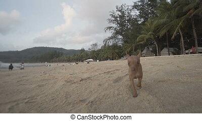 Cute miniature pinscher puppy on the beach - Happy cute...