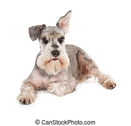 Cute miniature schnauzer isolated on white background