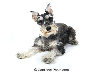 Cute Miniature Schnauzer Puppy Dog on White Background -...