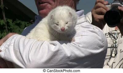 Cute mink in hand - mink in hand